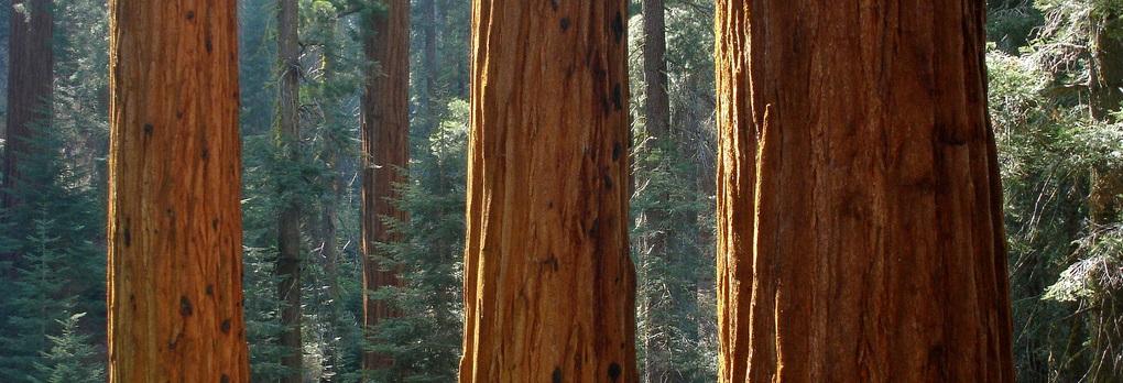 sequoiafeat