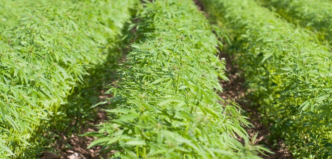 Field of hemp Cannabis Sativa
